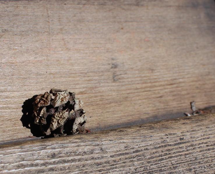 Redwood Pinecone