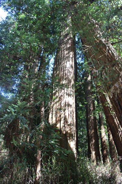 Towering Redwood Tress