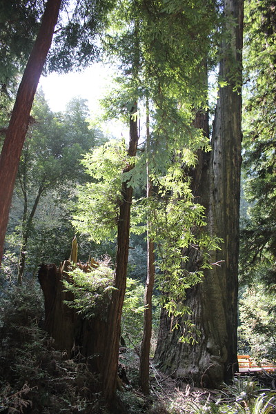 Primeval Redwood Forest