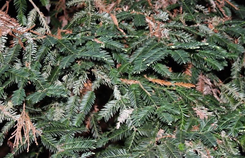 Redwood Needles