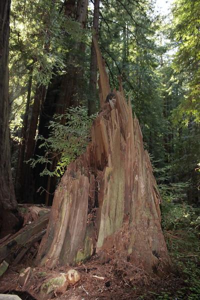 Redwood Tree Stump