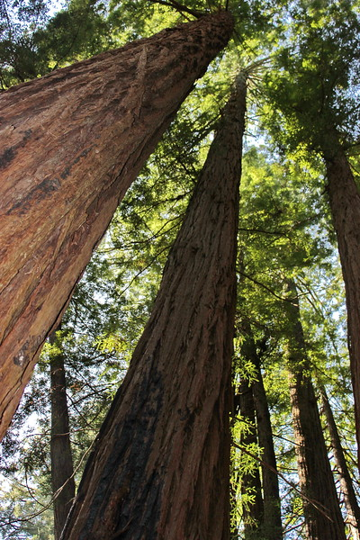 Ancient Coastal Redwoods