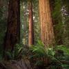 Enlightened Redwood Forest