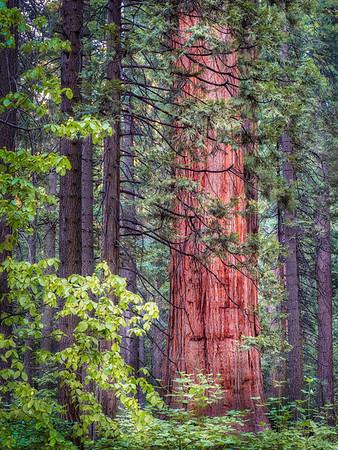 Gentle Sequoia Giant