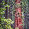 Gentle Sequoia Giant