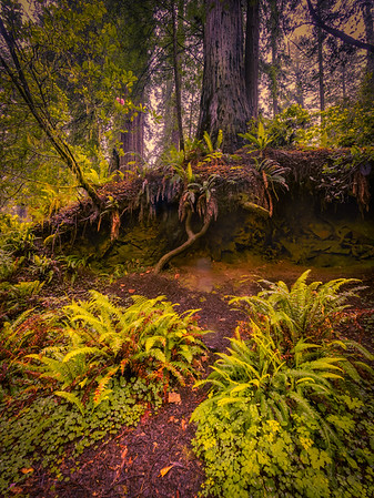 Redwood Roots Outcropping
