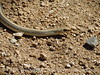 Patch-nosed snake, Salvadora hexalepsis, Mojave Natl Preserve CA (4)