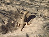 Mojave fringe-toed lizard, Mojave Natl Preserve CA (1)