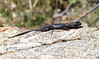 Spiny lizard, Mojave National Preserve CA (1)