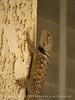 Desert spiny lizard, Sceloporus magister, Calif (2)