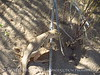 Mojave fringe-toed lizard, Mojave Natl Preserve CA (2)