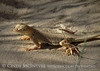 Mojave fringe-toed lizard, Mojave Natl Preserve CA