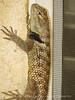Desert spiny lizard, Sceloporus magister, Calif (6)