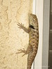 Desert spiny lizard, Sceloporus magister, Calif (5)