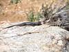 Spiny lizard, Mojave National Preserve CA (3)