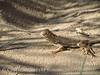 Mojave fringe-toed lizard, Mojave Natl Preserve CA (4)