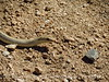 Patch-nosed snake, Salvadora hexalepsis, Mojave Natl Preserve CA (2)