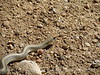 Patch-nosed snake, Salvadora hexalepsis, Mojave Natl Preserve CA (1)