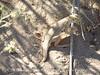 Mojave fringe-toed lizard, Mojave Natl Preserve CA (3)