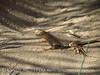 Mojave fringe-toed lizard, Mojave Natl Preserve CA (5)