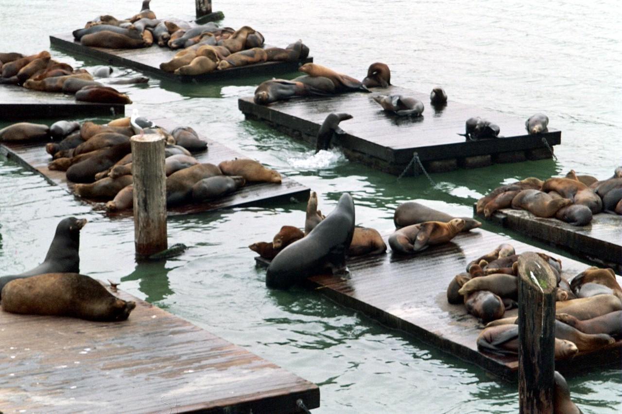 Sea Lions at the Wharf