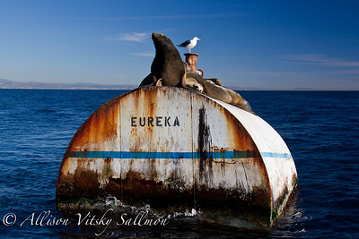 Mooring for Eureka  with a mess of sea lions on top.  The California coast is in the background.