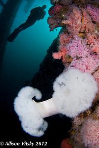 A diver hovering over metridium anemones at the Eureka oil platform