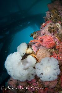 Giant metridium anemones on Eureka