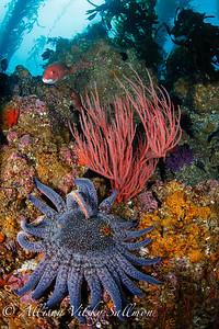 Channel islands reef scene