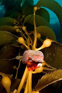 Norris' topsnail in the kelp