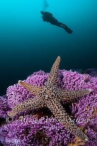 Reef scene_purple hydrocoral with starfish and model