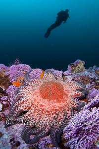 Reef scene_purple hydrocoral and model