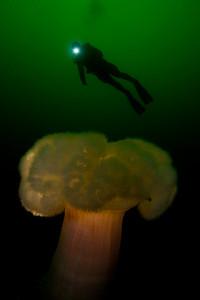 Metridium with diver, Monterey Bay