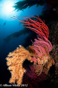 Catalina Island is a great place to find lush reefscapes.