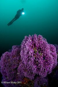 Purple hydrocoral with diver