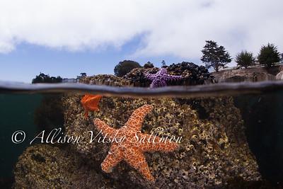 Over-under with ochre stars, Monterey Bay
