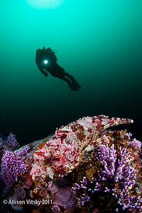 Scorpionfish on purple hydrocoral with diver