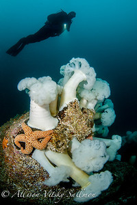Metridium anemones and starfish with diver