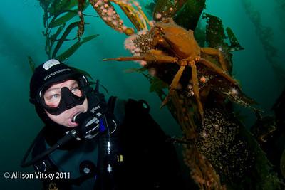 Kelp crab with diver