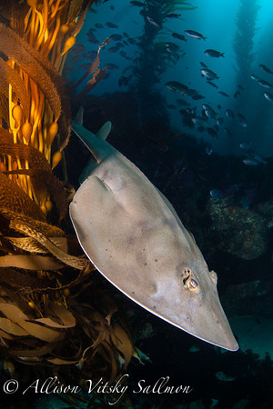 Guitarfish free-swimming in the kelp,