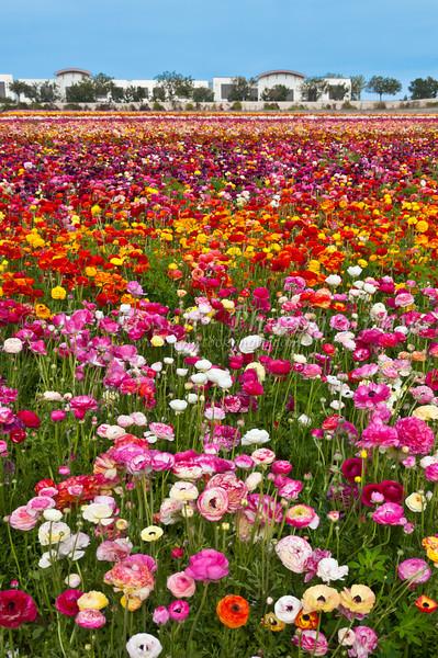 A field of Giant Tecolate Ranunculus flowers blooming near Carlsbad, California, USA.