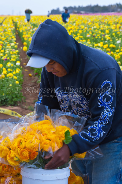 Migrant workers harvesting a field of Giant Tecolate Ranunculus flowers near Carlsbad, California, USA.