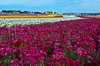 A field of Giant Tecolate Ranunculus flowers blooming near Carlsbad, California, USA.