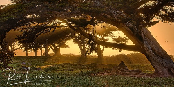 Sunrays filter through the Cypress Tree Grove at Point Pinos, Pacific Grove, CA