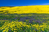 The Carizzo Plain National Monument with wildflowers of the 2019 Superbloom, California, USA.