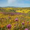 "Carrizo Plain National Monument, California ""superbloom"" 2019."