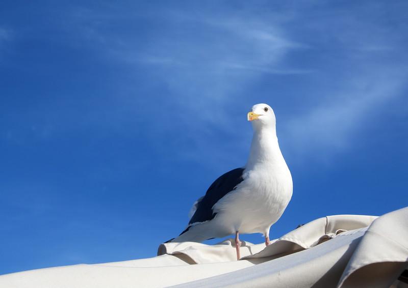 Catalina Island: Sea Gull Portrait