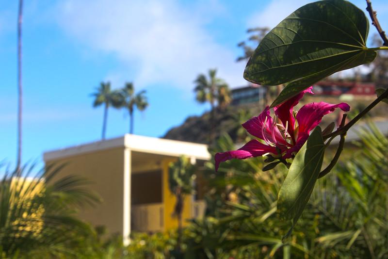 Catalina Island: Pavilion Hotel, Flowering Tree