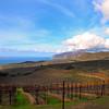 Catalina Island:  Rusack Winery Vineyards
