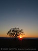Oak tree at sunset, Paso Robles, CA (3)
